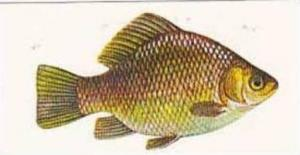 Craven Black Cat Vintage Cigarette Card Sport Fish No 7 Crucian Carp