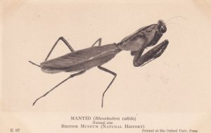 Mantid Praying Mantis British Natural History Museum Antique Rare Insect Post...