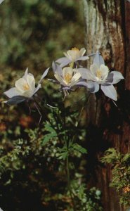 Colorado, CO, Mountain Columbines, 1956 Chrome Vintage Postcard g8394