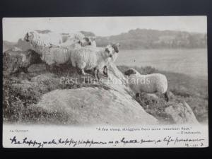 SHEEP / LAMB - AN OUTCAST A few sheep stragglers.....Wordsworth Quote c1903