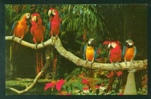 Parrot Jungle Park Macaws Birds  Miami Florida Vintage FL  Postcard