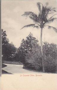 A Cocoanut Palm, Bermuda, 1900-1910s