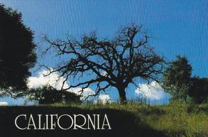 Magnificent Oak Tree Golden Hills Northern California