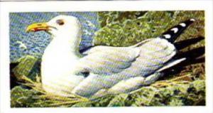 Brooke Bond Tea Trade Card Wild Birds In Britain No 44 Herring Gull