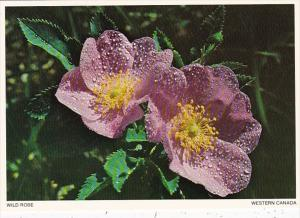 Canada Flowers The Wild Or Prickly Rose Floral Emblem Of Alberta