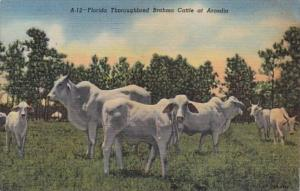 Florida Thoroughbred Brahma Cattle At Arcadia Curteich