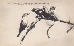 Parula Warblers Audubon Nature Camp Medowak Maine Artvue