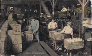 Interlachen FL - PACKING oranges in a packing plant in FLORIDA, 1900s