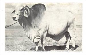 Bull EMPEROR, Grand Champion Brahman Cow, Kissimmee, Florida ,  40-60s