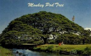 Monkey Pod Tree Hawaii HI Unused