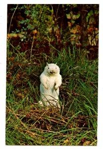 Albino Woodchuck