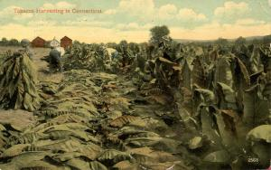 CT - Tobacco Harvesting
