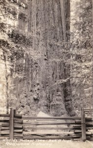 California Redwood Highway World's Tallest Tree Real Photo sk1614