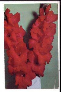 Photo 1952, Gladiolus, Mid American Variety, Used Newbury, Massachusetts,  1961