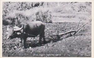 Hawaiian Islands Water Buffalo and Plow Curteich