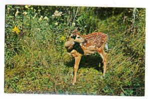 Grayling to Sandusky, Michigan 1965 Chrome Postcard, Deer Fawn