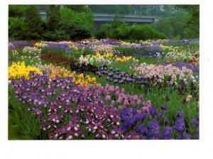 Royal Botanical Gardens, Iris, Hamilton, Ontario Large 5X7 Postcard
