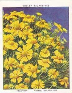 Wills Vintage Cigarette Card Garden Flowers 1939 2nd Series No 15 Helenium Te...