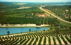 Florida Typical Orange Groves Seen Fron Citrus Tower Ower Clermont