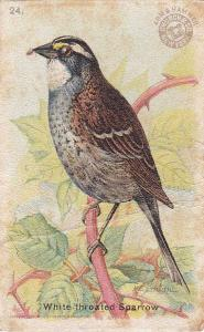Arm & Hammer Trade Card - White-throated Sparrow - Useful Birds 1915