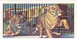 Amaran Tea Vintage Trade Card The Circus 1966 No 22 Tigers