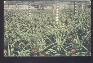 PINEAPPLE FARM GREENHOUSE INTERIOR FARMING FLORIDA VINTAGE POSTCARD FLA.
