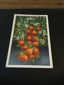 Vintage  Postcard - A Cluster of California Oranges