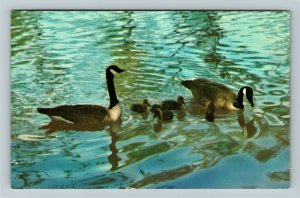 Ontario- Canada, Canada Geese and Goslings, Scenic Lake, Chrome Postcard