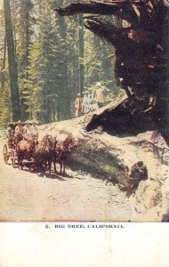 BIG TREE Horse-Drawn Carriage California Redwoods Vintage ca 1910s Postcard