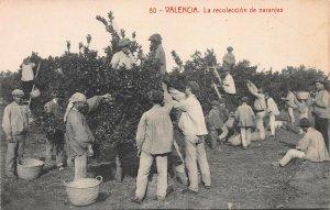 Harvesting Oranges, Valencia, Spain, Early Postcard, Unused