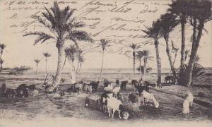 Tunisia Paysages Tunisiens Troupeaux de Chevres
