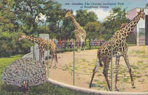 Giraffes At The Chicago Zoological Park Brookfield Illinois Curteich
