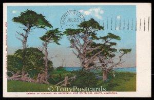 Cedars of Lebanon, on Seventeen Mile Drive, Del Monte