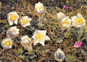 Postcard Spring Anemone, Anemone Vernalis Pelzanemone, Switzerland #M30