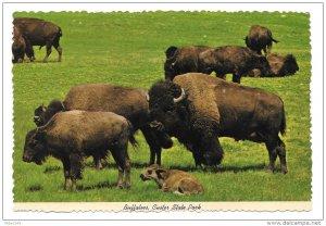 Buffaloes South Dakota Bison Custer State Park Black Hills Vintage Postcard 4X6