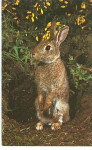 Rabbit, 1981 used Postcard