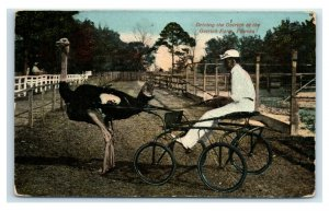 Postcard Driving the Ostrich at the Ostrich Farm, Florida Y65