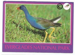 Vintage Postcard The Purple Gallinule Royal Palm in Everglades National Park