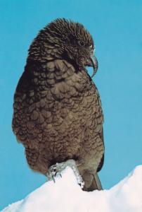 New Zealand Mountain Parrot Bird Postcard