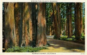 CA - Redwood Highway. Majestic Redwoods