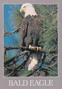 Birds The American Bald Eagle