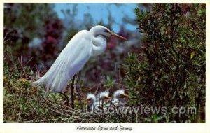 Egrets - Everglades National Park, Florida FL