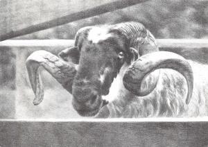 Postcard Art, Scottish Blackface Sheep by Kim Lewis 1989 F32