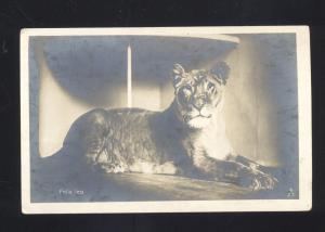 RPPC FELIS LEO FEMALE LION LIONESS VINTAGE REAL PHOTO
