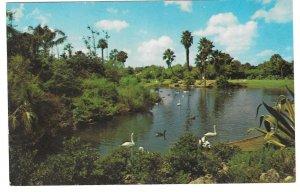 Busch Gardens Lagoon Water Birds Geese Swans Tampa Florida Vtg Beckett Postcard