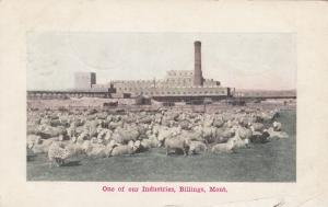 BILLINGS, Montana, 1908, One Of Our Industries, Sheep
