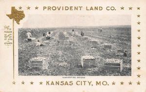 Kansas City MO Provident Land Company Harvesting Onions Postcard