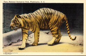 Washington D C National Zoological Park Tiger