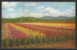 Oregon, Grant's Pass - Gladiola Fields - [OR-033]
