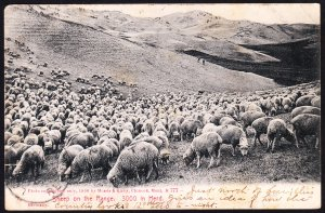Sheep on the Range – Chinook MT - Morris & Kirby - 1907